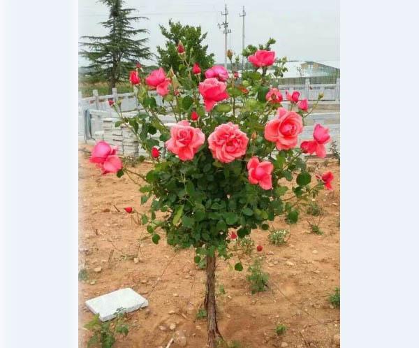 青岛玫瑰小镇图片大全